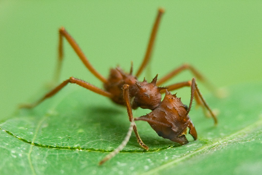 Les fourmis coupe-feuilles (fourmis Atta)