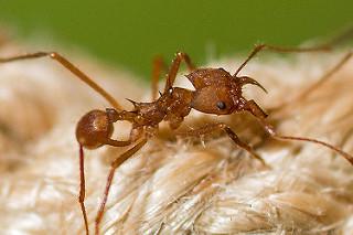 Les 4 plus étranges fourmis du monde