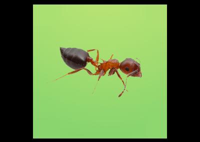 Myrmicinae