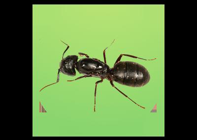 Camponotus Pennsylvanicus