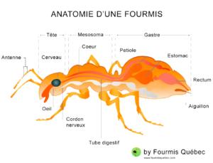 Anatomie d'une fourmis