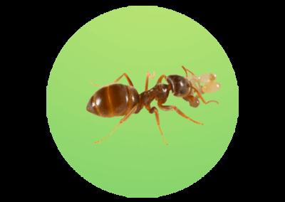 Lasius alienus