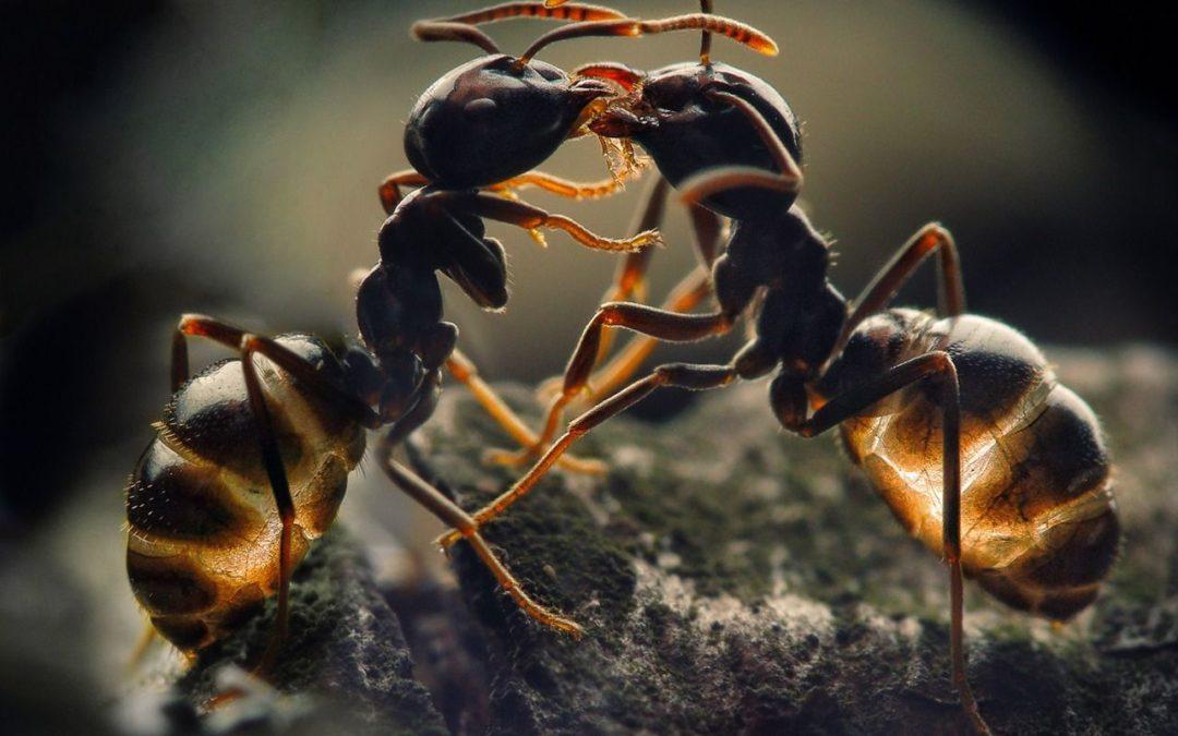 Comment identifier une fourmis ?