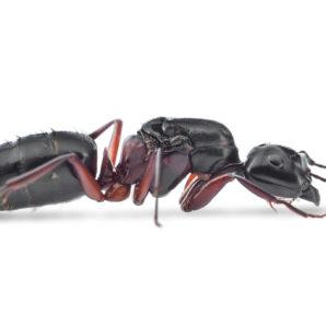 camponotus-herculeanus-reine