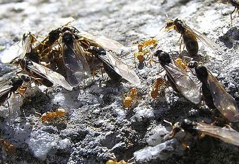 Pourquoi les fourmis ont des ailes durant l'année ?
