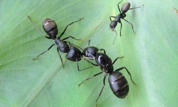 Les espèces de fourmis au Québec