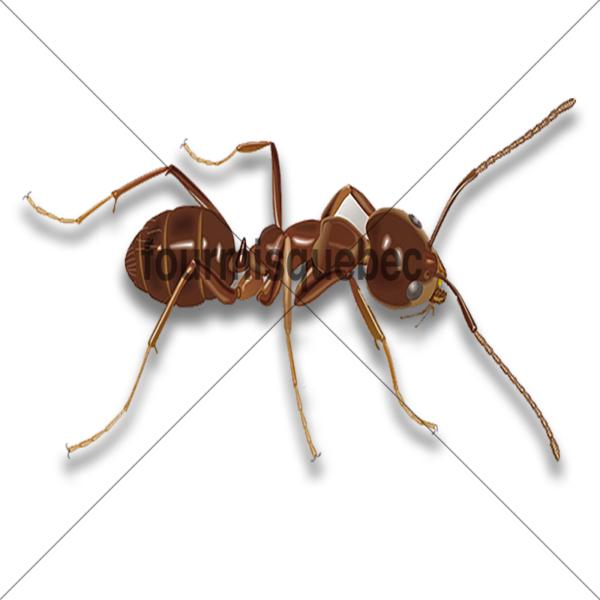fourmis d'argentine