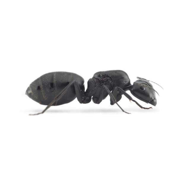 Camponotus vagus