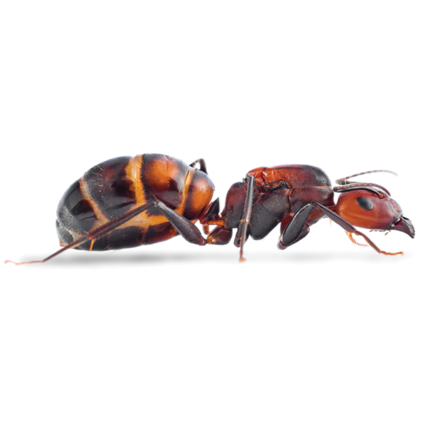 Camponotus-nicobarensis