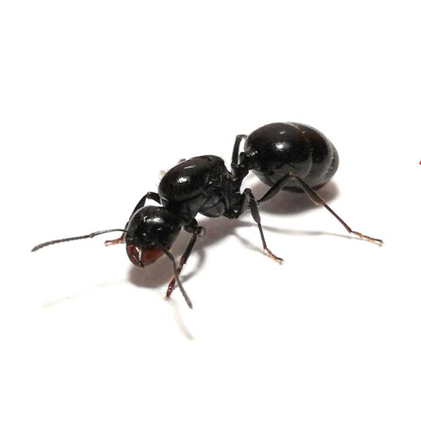fourmis messor