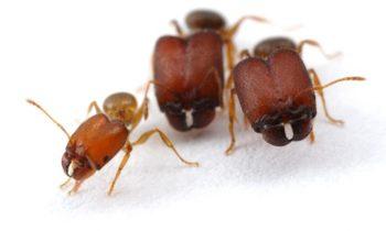 Comment les fourmis créent des «supersoldats» – et pourquoi certaines d'espèces ne le font pas